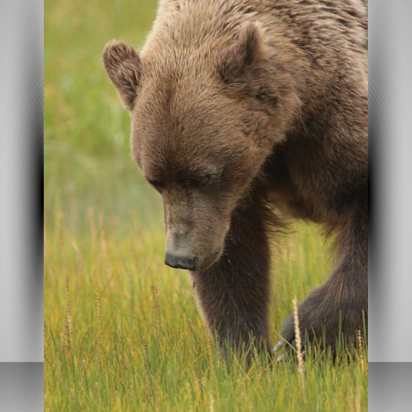 Print photo posters like this wild Alaskan bear with your own photos