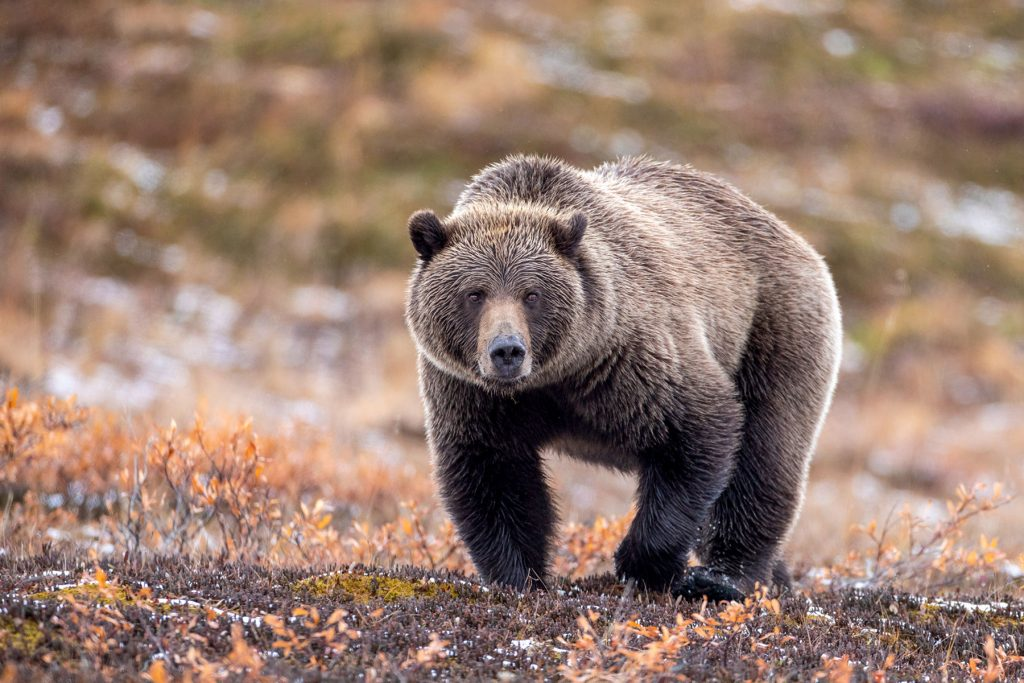 Grizzly in Denali National Park by Jodi Garrison