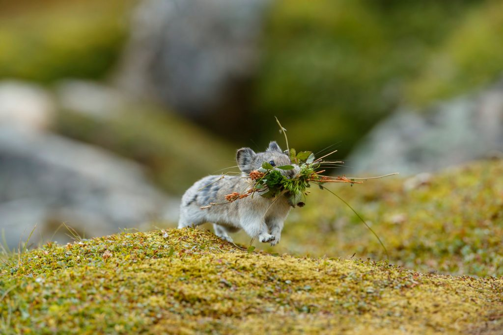 Pika collecting for winter by Jackie Sawyer