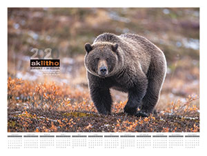 Alaska Litho's 2020 poster calendar with a photo of a Grizzly bear in Denali National Park by Jodi Garrison
